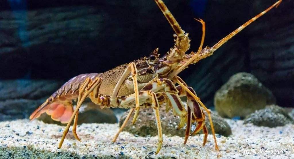 澳大利亚岩龙虾1.jpg